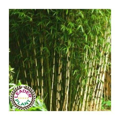 Lot de 11 Bambous Fargesias Campbell en pot de 1L (20/30cm)