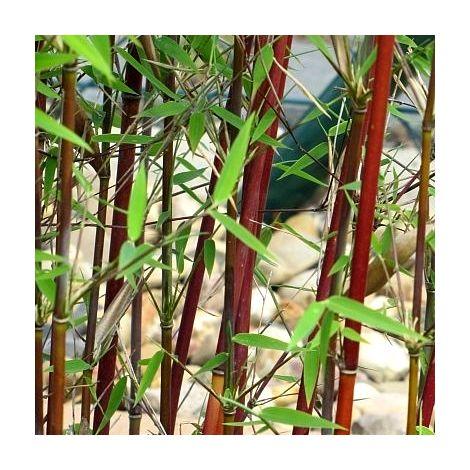 Lot de 11 Bambous Fargesias rouge Red Panda en pot de 1L (60/70cm)