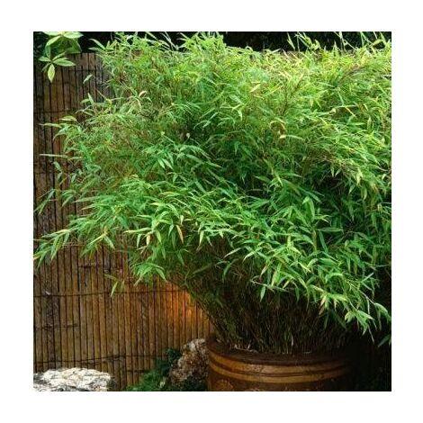 Lot de 11 Bambous Fargesias Rufa en pot de 1L (40/50cm)