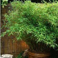 Lot de 11 Bambous Fargesias Rufa en pot de 1L (60/70cm)
