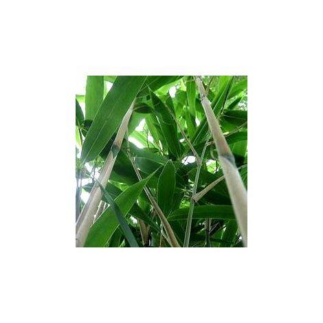 Lot de 11 Bambous Metaké en pot de 5L (150/180cm)