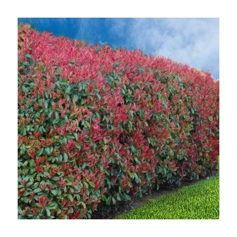 Lot de 12 Photinias Red Robin en pot de 10L (150/170cm)