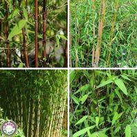 Lot de 4 bambous non traçants fagesia : 4 variétés de couleurs différentes en pot de 1 litre (hauteur 50/60cm)