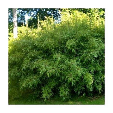 Lot de 50 bambous fargesias Rufa en pot de 1L (40/50cm)