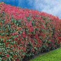 Lot de 50 Photinias Red Robin en pot de 4L (60/70cm)