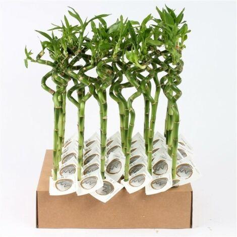 Lucky bamboo spirale (Bambù della Fortuna) - venduta 1 pianta - 90 cm