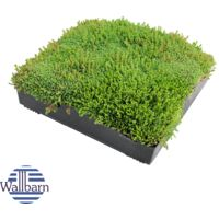 M-Tray SEDUM Green Roof Module 500 x 500 x 100mm (delivery cost per pallet of 42 units)