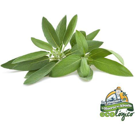 Maceta Salvia 10,5 cm. Pack 3 uds. Gama Tradicional.