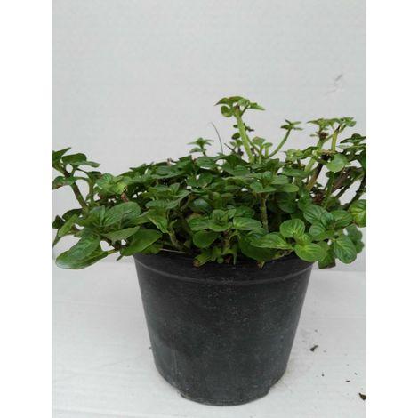 Maggiorana -vaso 14cm- piante aromatiche erbe aromatiche pianta aromatica