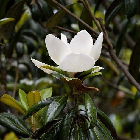 Magnolia común - 1Ud. - Maceta de 5Litros