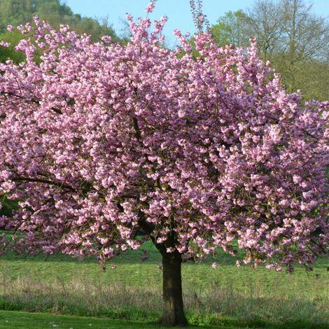 Magnolia de Chine, Magnolia de Soulange Soulangiana Lennei | Godet - 5/20 cm