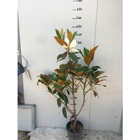 Magnolia Grandiflora Gallisoniensis vaso 20c