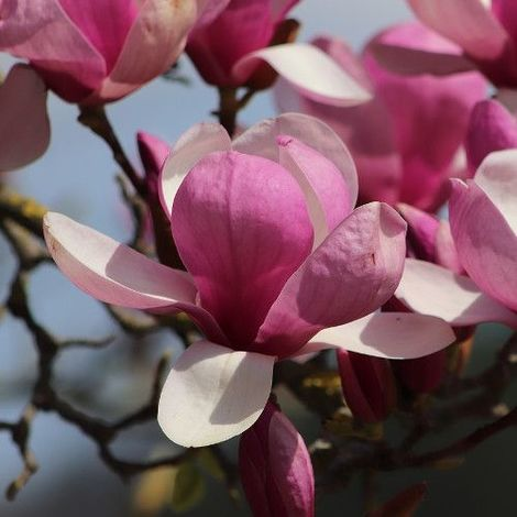 Magnolia liliflora - 1Ud. - Maceta de 5Litros