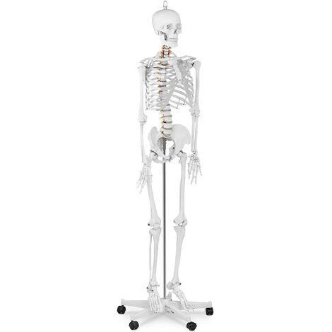 Maquette Squelette Humain Modèle Anatomique Grandeur Nature Affiche Poster 176Cm