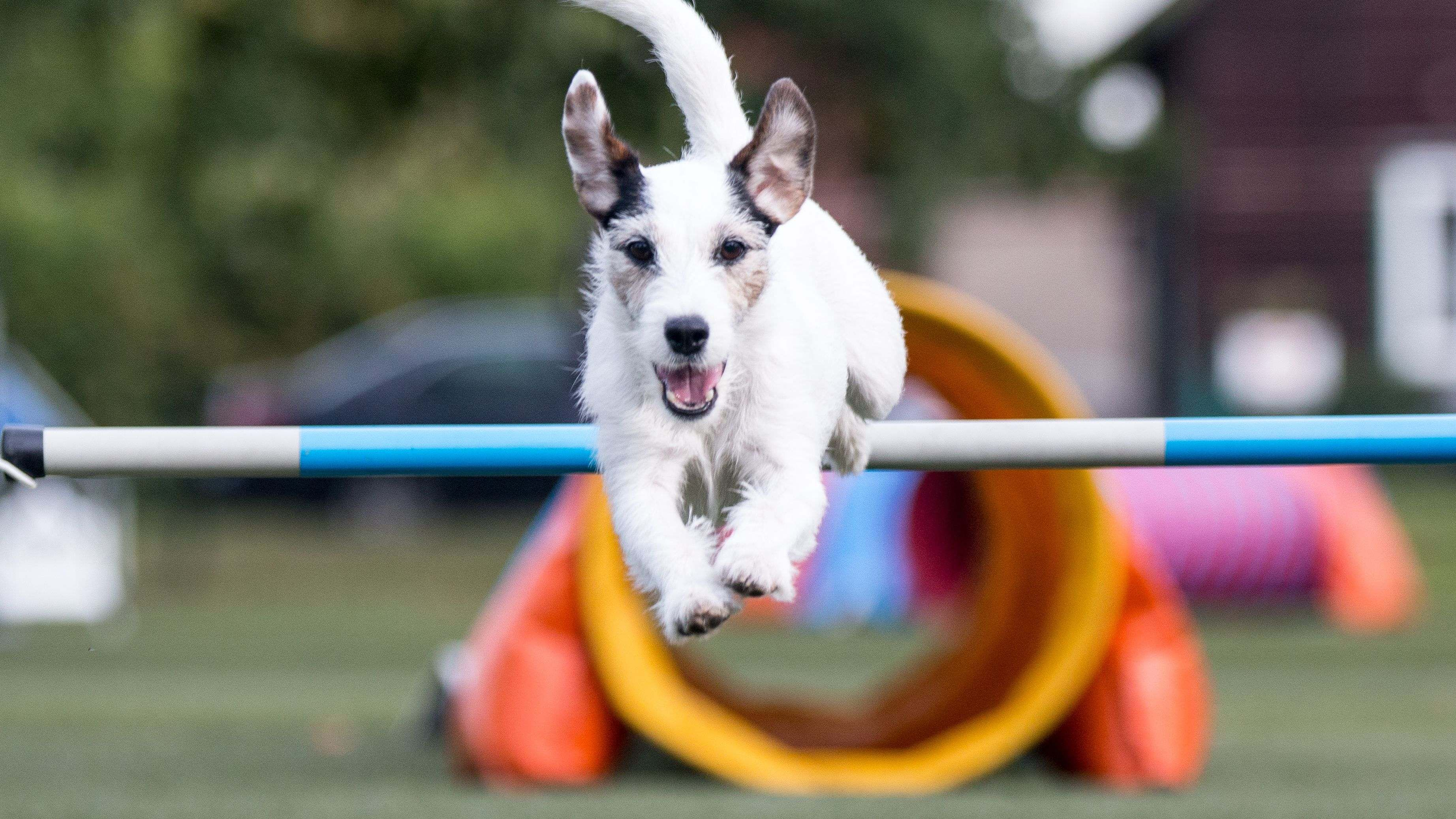 How to  get started in dog agility
