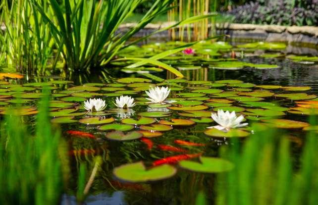 Cómo elegir plantas para estanque