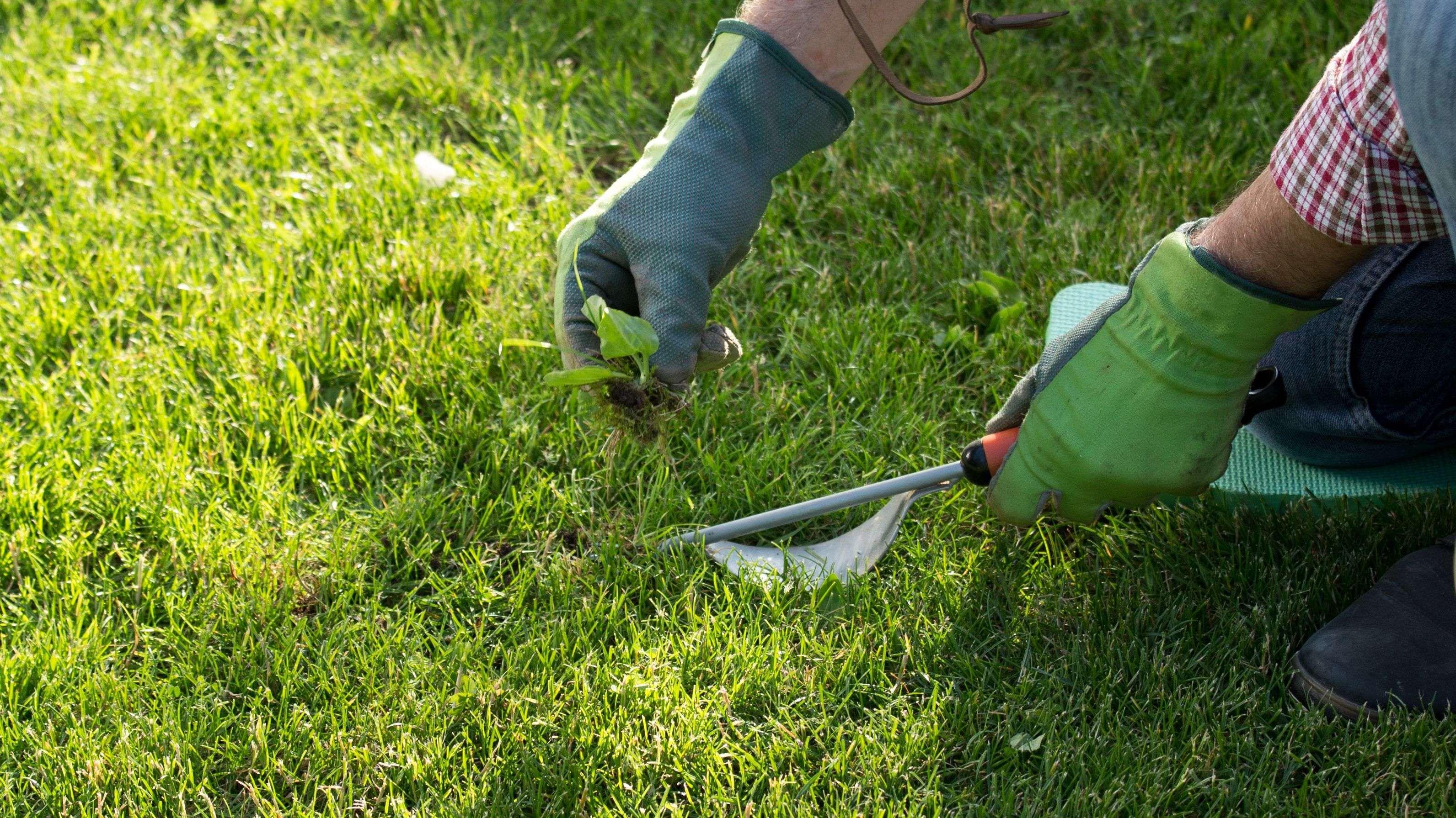 Comment désherber  une pelouse