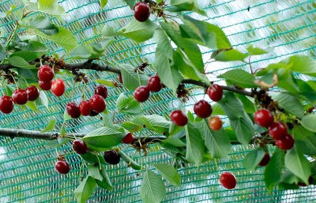 So schützten Sie Ihren Obstbaum vor Vögeln und Insekten