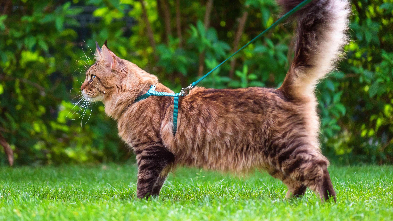 Collier, laisse et harnais pour chat  : comment choisir