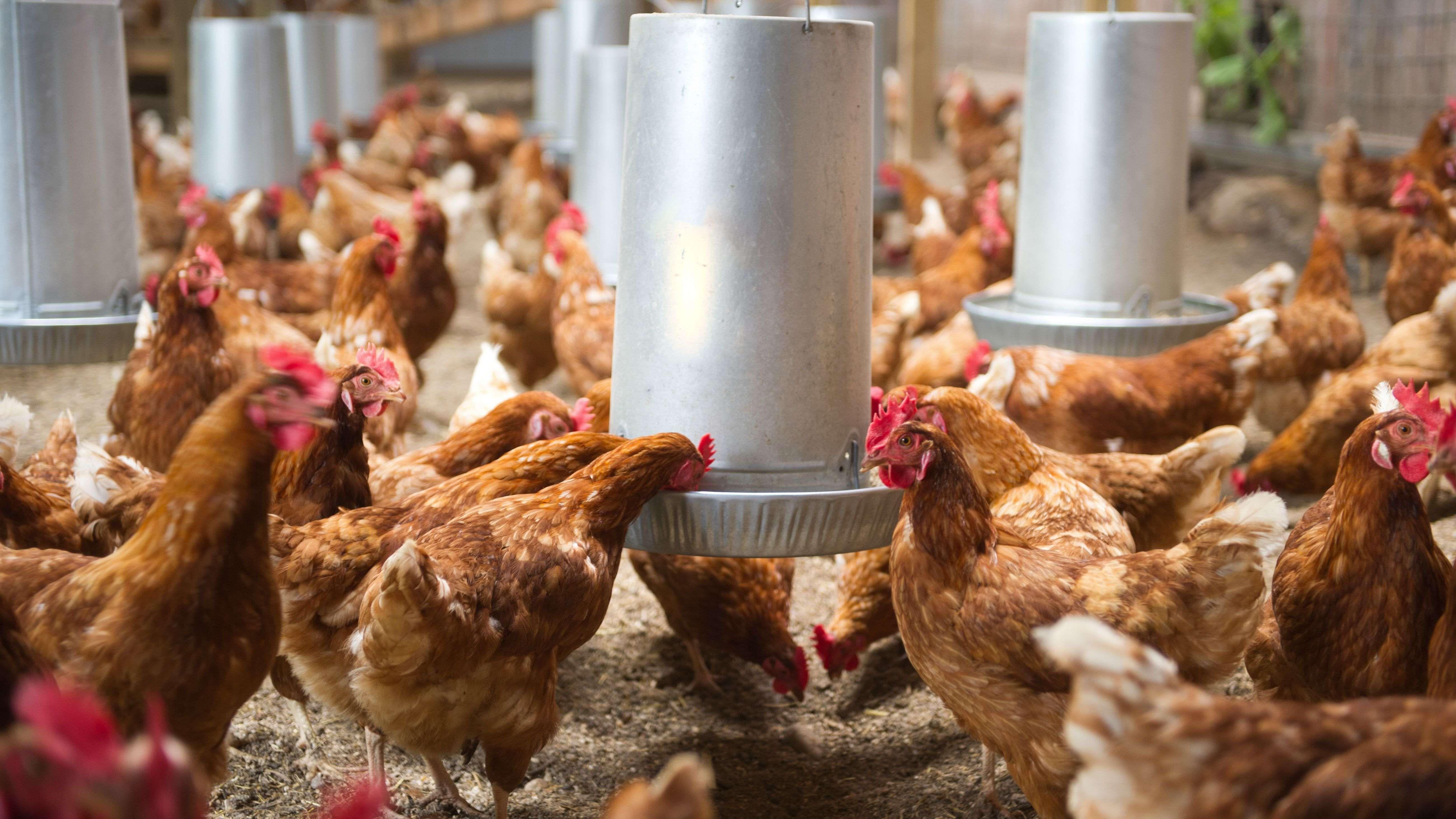 Comment choisir  une mangeoire et un abreuvoir à poules