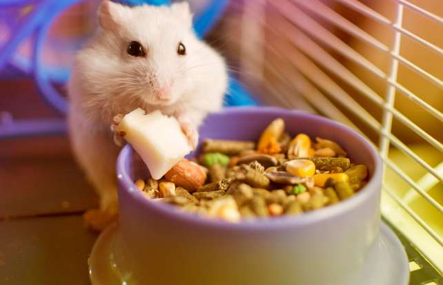 What to feed your pet rodent
