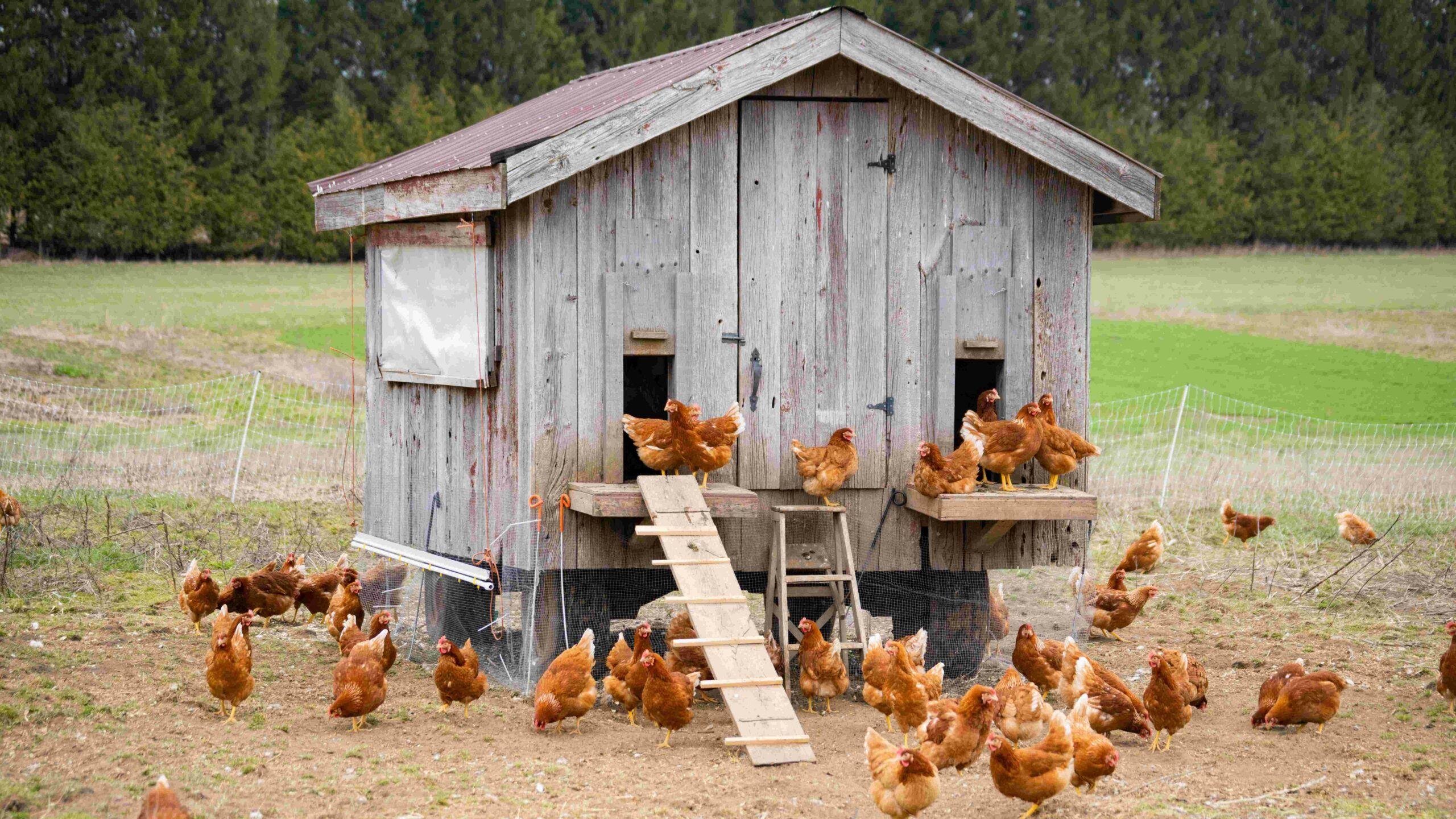 ¿Cuándo y cómo empezar un gallinero?