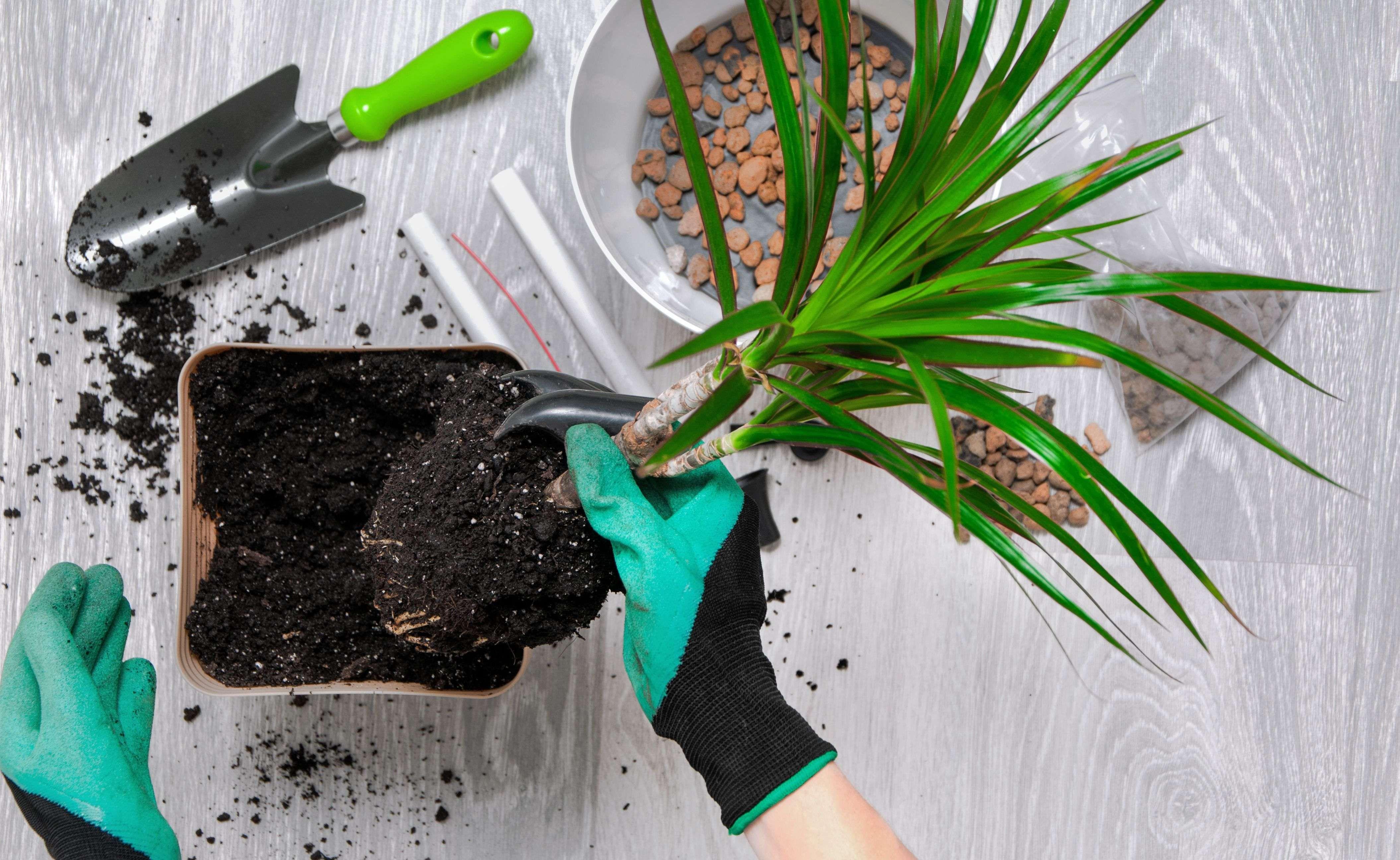 Comment rempoter une plante