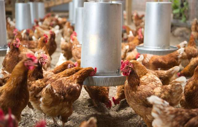 Chicken feeder and drinker buying guide