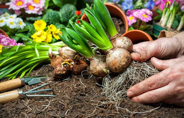 Flower bulb buying guide