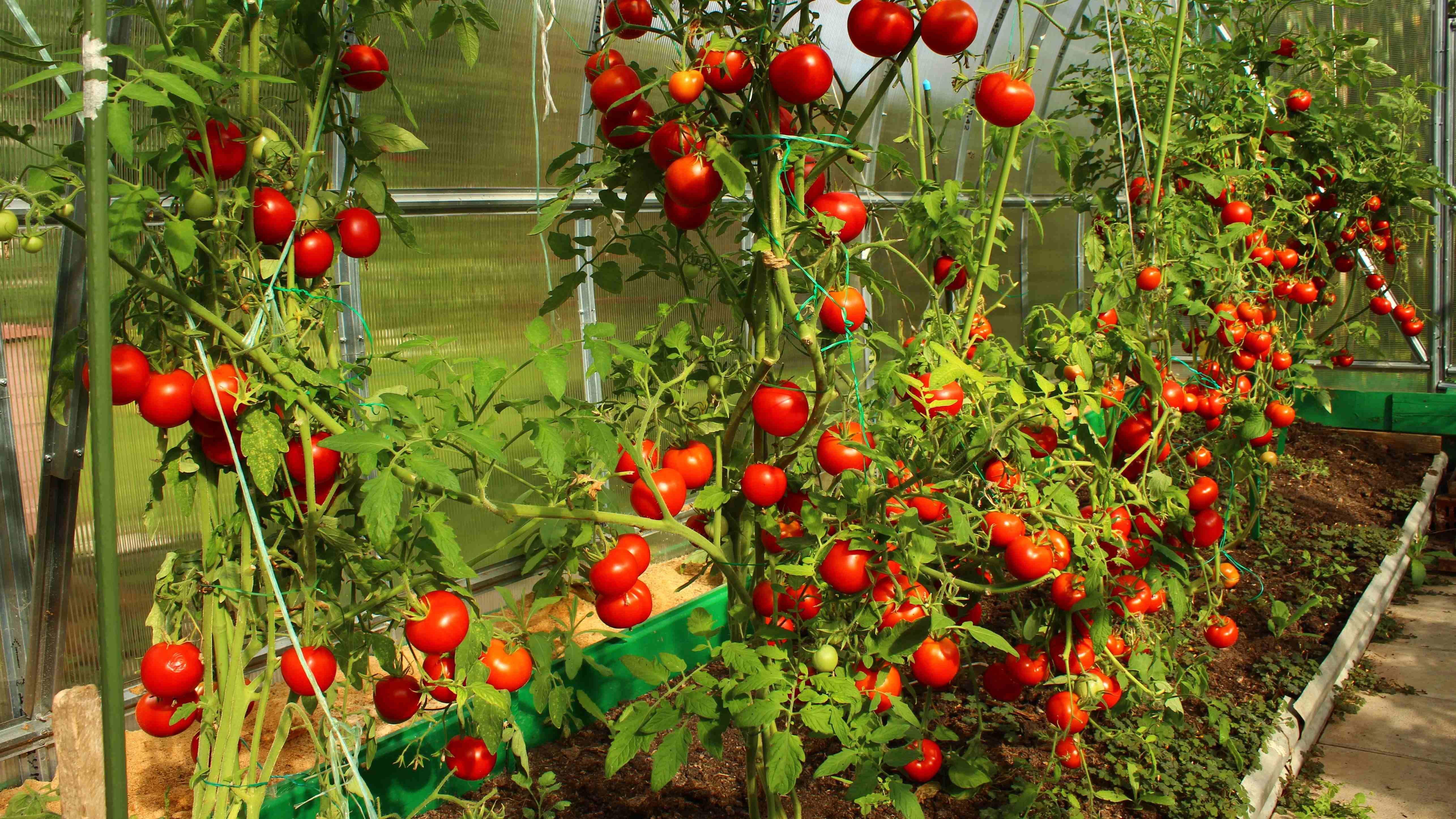 Comment choisir une serre à tomates ?