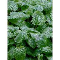Melissa aromatiche pianta officinale vaso 14 piante aromatiche erbe pianta
