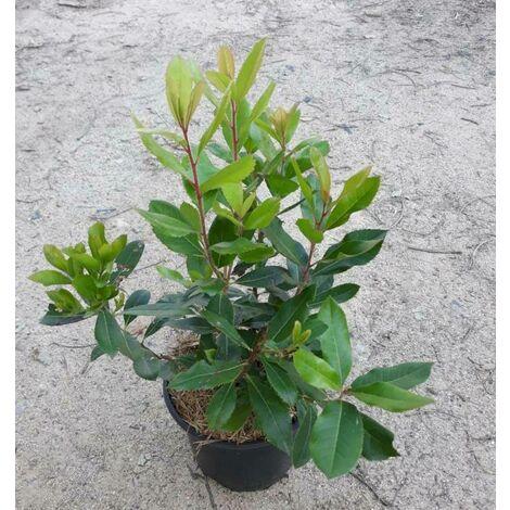 Melon Cantallup - Maceta de 10,5cm