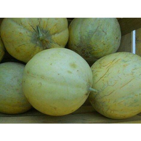 Melone liscio (vaso 10)