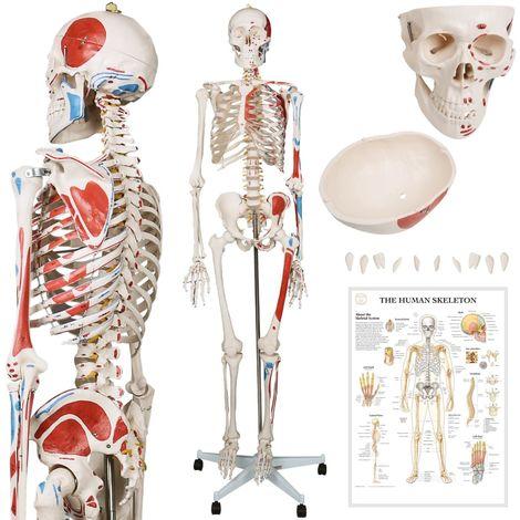 Menschliches Skelett Anatomie Modell ca. 200 Knochen - 181,5 cm groß - Lehrgrafik inkl.
