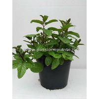 Menta vaso 14 piante aromatiche erbe aromatiche pianta aromatica