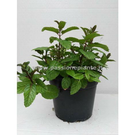 Menta -vaso 14cm- piante aromatiche erbe aromatiche pianta aromatica