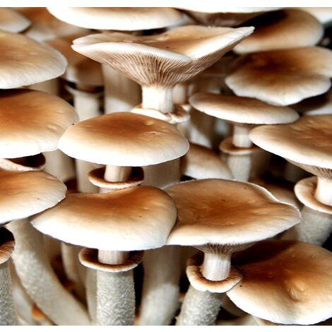 Micelio en Grano de Pholiota Aegerita, SETA de Chopo. 1 Kilo. Semillas