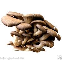 Micelio en Grano de Pleurotus Ostreatus, SETA Ostra. 100 Gr. Semillas