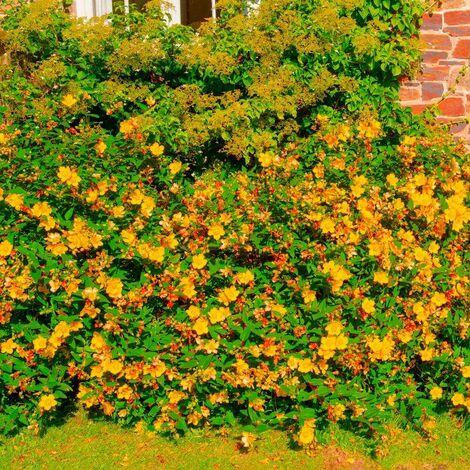 Millepertuis Arbustif 'Hidcote' (Hypericum 'Hidcote') - Godet - Taille 20/40cm