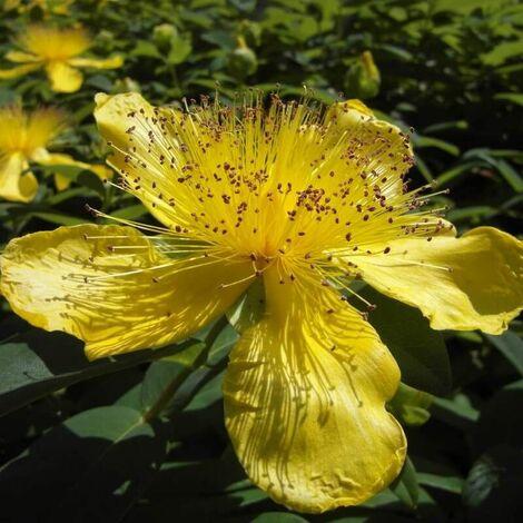 Millepertuis Rampant à Grandes Fleurs (Hypericum Calycinum) - Godet - Taille 13/25cm