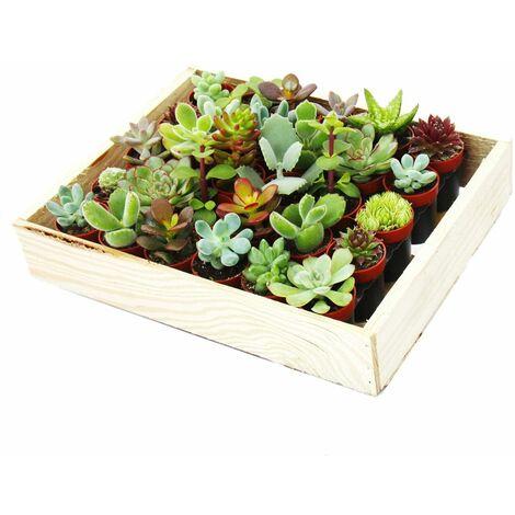 """main image of """"Mini succulentes 3,5cm pot - boîte en bois avec 30 plantes"""""""