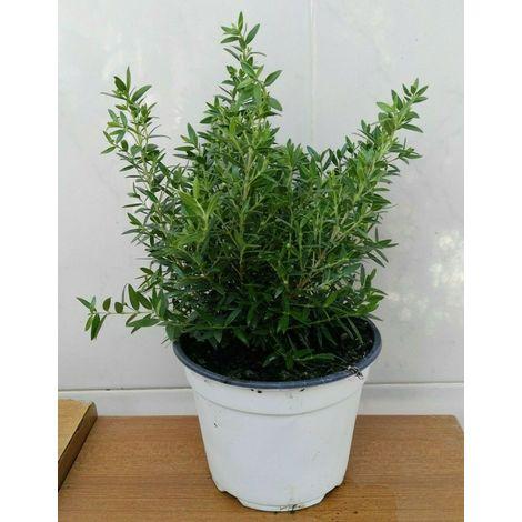 Mirto tarentina -vaso 14cm-piante erbe aromatiche pianta aromatica tarantino