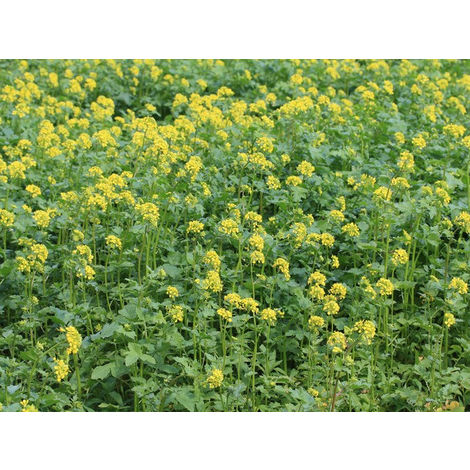 Moutarde blanche Engrais vert 500gr Vilmorin - 400 m2