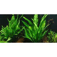 Mutterpflanze Aquarium Pflanze Microsorum pteropus Tropica Nr.008 XL Aquarium