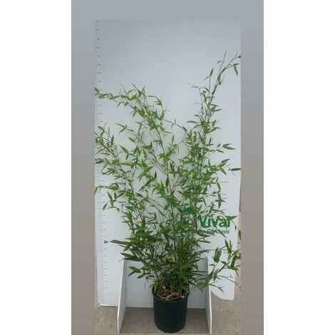 "N. 2 PIANTE DI BAMBU' ""phyllostachys aurea "" altezza 140/150 cm in vaso 24 cm"