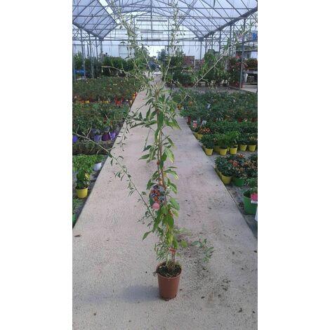 n.10 piante di lycium barbarum bacche di goji vaso 17 cm (foto reali pianta)