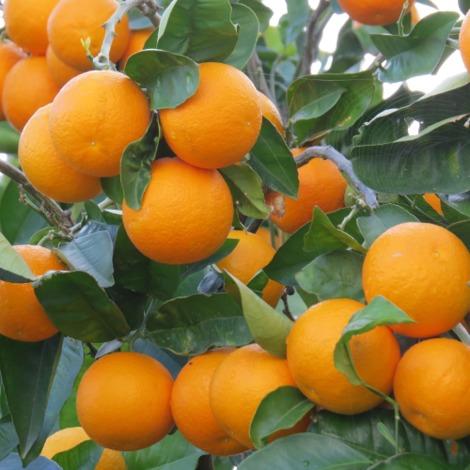Naranjo - Citrus sinensis - Maceta de 25cm - 100cm de altura