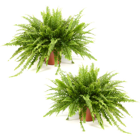 Nephrolepis Green Lady Ø 19 x H. 60cm | Offre Duo