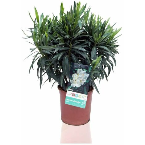 Nerium Oleander (Adelfa) Blanco - Blanco