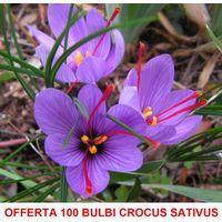 OFFERTA 100 BULBI DI CROCUS SATIVUS ZAFFERANO CALIBRO 10+ croco coltivazione